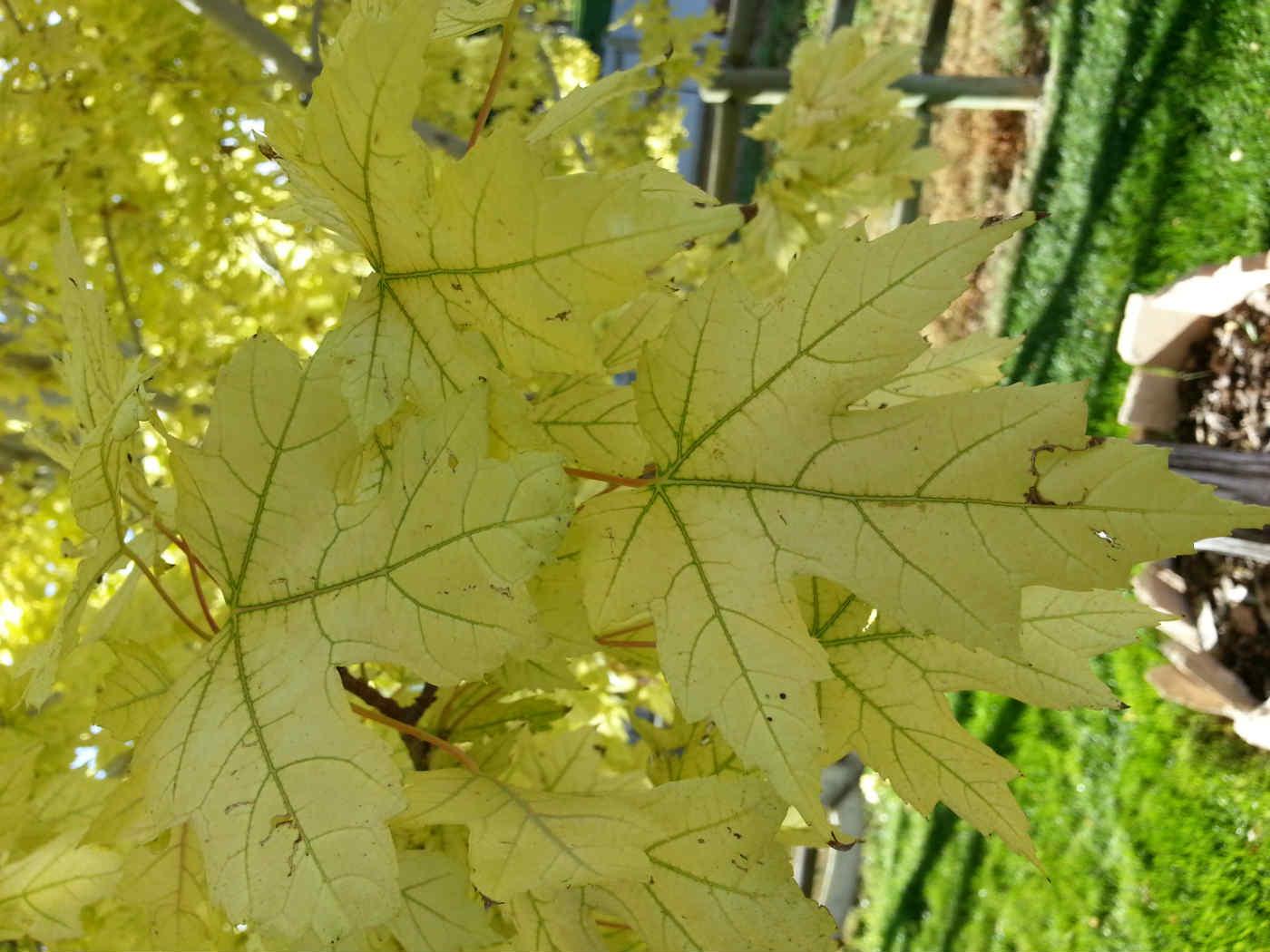 utah-maple-iron-deficiency