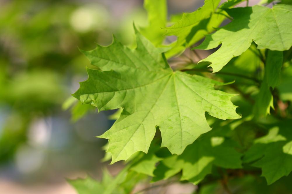 utah-maple-trees